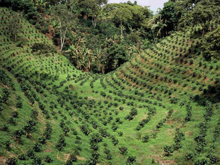 コーヒーの生産