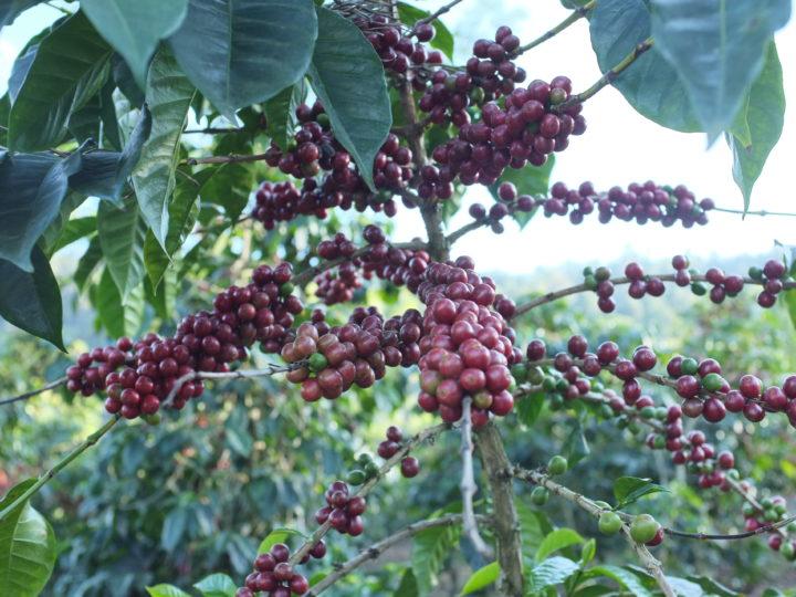 #143 Makea Coffee: Pärinätön