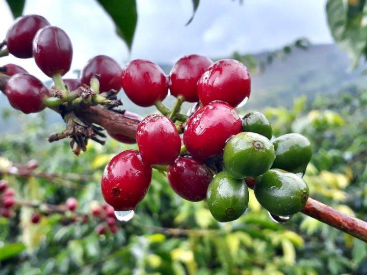 Sidra natural, Café Granja la Esperanza