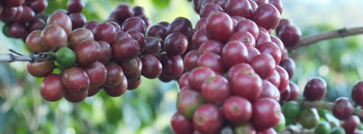 #151 Kahiwa Coffee Roasters: Primavera Family Decaf